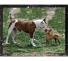 Pitbull meets Chihuahua  Photographic Print