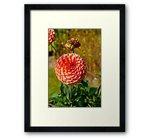 Ball Dahlia Framed Print