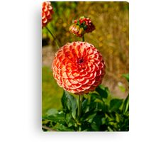 Ball Dahlia Canvas Print