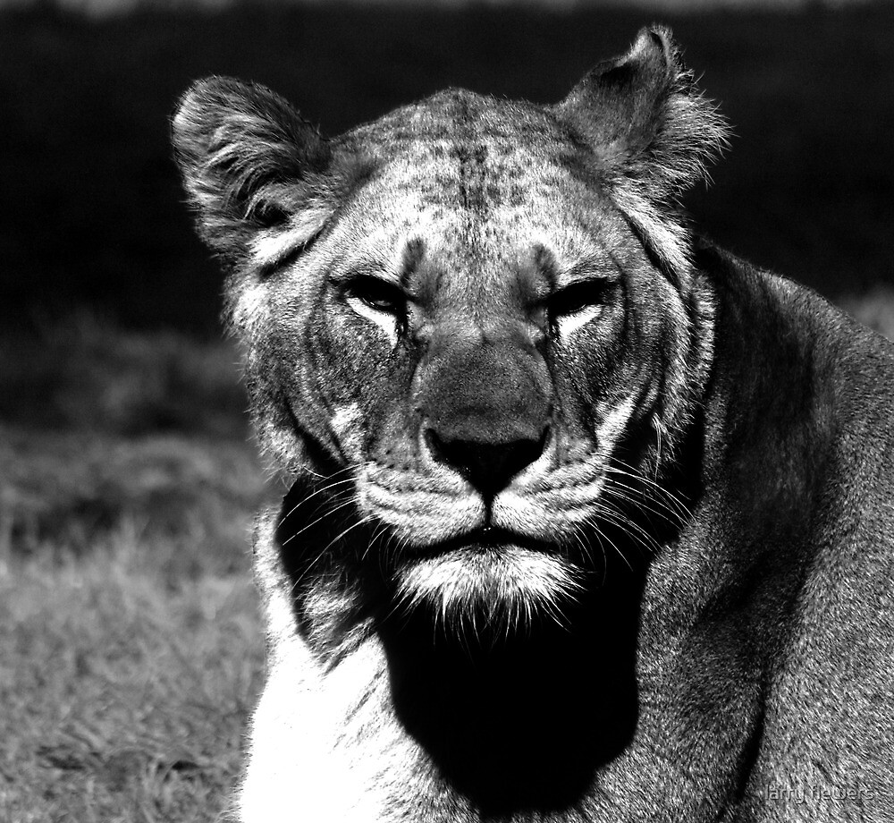 Barbary Lion portrait by larry flewers