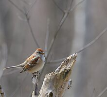 American Tree Sparrow at Dolman Ridge by Heather Pickard