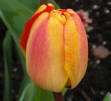 Orange and Yellow Tulip by LoneAngel