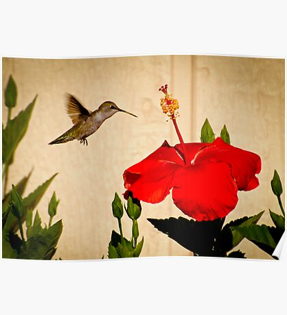 Oh Boy! a very large Hibiscus. Poster
