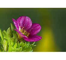 Red flower with dew Photographic Print