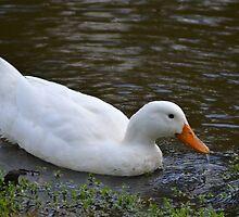 White Duck by TheaShutterbug