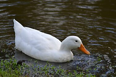 White Duck by TheaShutterbug