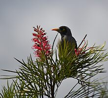 Noisy Miner in a Grevillea Tree by TheaShutterbug
