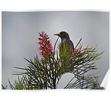 Noisy Miner in a Grevillea Tree Poster