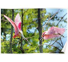 Roseate Spoonbill Fight Poster