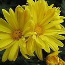 Yellow Daisies by TheaShutterbug