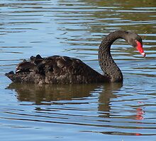 Black Swan by TheaShutterbug