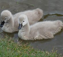 Cygnets by TheaShutterbug