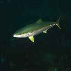 Adelaide Kingfish 15-4-12 by Matt-Dowse