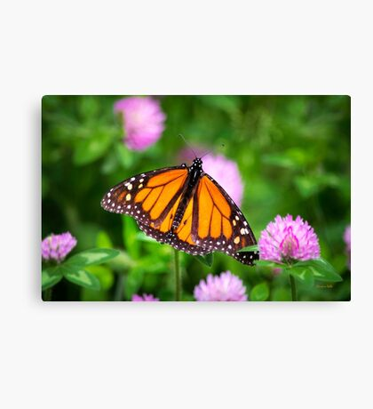 Monarch Butterfly on Pink Flowers Canvas Print