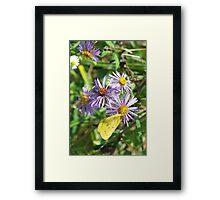 Yellow Sulpher on Purple Astor Framed Print