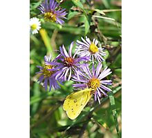 Yellow Sulpher on Purple Astor Photographic Print