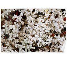 Coral Lichen Poster