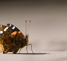 Red Admiral Strikes a Pose by Heather Pickard
