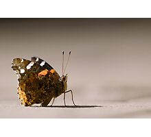 Red Admiral Strikes a Pose Photographic Print
