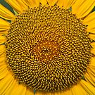 sunflower by LG2001