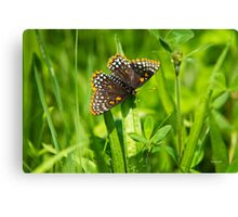 Pretty Baltimore Checkerspot Butterfly Art Canvas Print