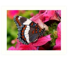 White Admiral Butterfly Art Print