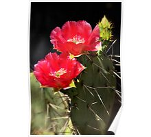 Red Prickly Pear Cactus  Poster
