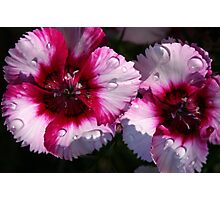 Dianthus in Sun and Rain Photographic Print
