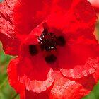 Single Poppy  by Ian Jeffrey