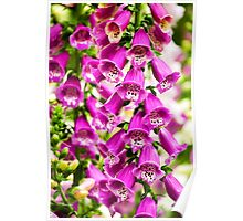 Colorful Foxglove Flowers Poster