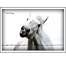 irish draught mare , with an itch Photographic Print