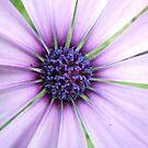 Purple Daisy by TheaShutterbug