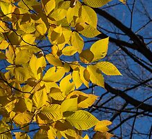 Sapphire and Gold - Blue Sky, Golden Leaves & Bright Sunlight by Georgia Mizuleva