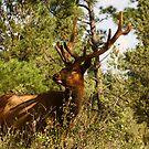 Elk by mikepemberton
