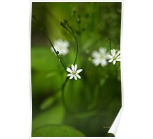 Chickweed Wildflowers Poster