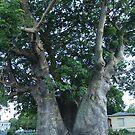 Grove Place Baobab Tree by Christine Lewandowski
