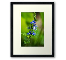 Colorful Blue Speedwell Flowers Framed Print