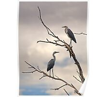Pacific Herons Poster