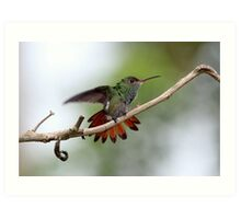 Rufous-tailed Hummingbird Art Print