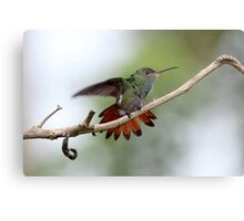 Rufous-tailed Hummingbird Metal Print