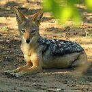 Black backed jackal by Explorations Africa Dan MacKenzie