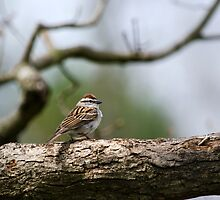 Chipping Sparrow in Tree by Christina Rollo
