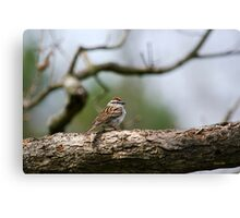 Chipping Sparrow in Tree Canvas Print