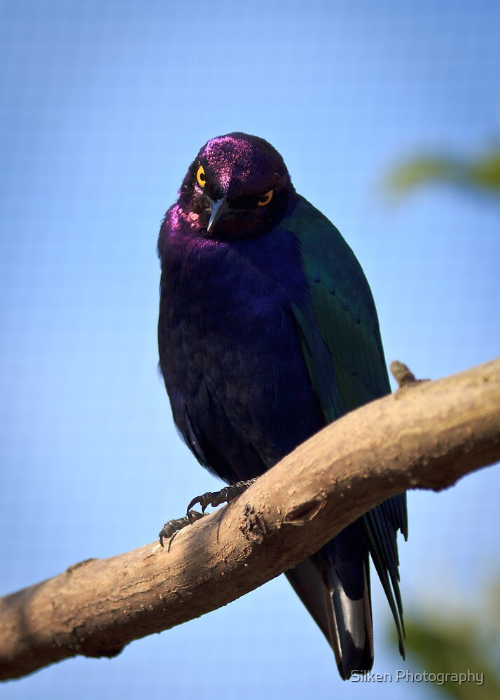 Royalty Starling by Silken Photography