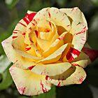 Dappled Rose by Karen Tregoning