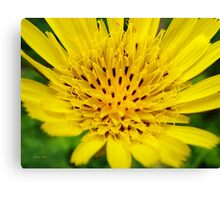 Yellow Salsify Flower Art Canvas Print