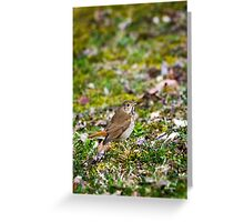 Wild Bird Hermit Thrush Greeting Card