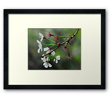 Cherry Blossoms (2) Framed Print