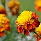 Autumn Marigolds by TheaShutterbug