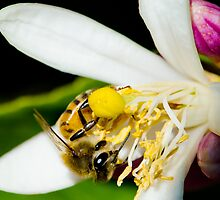 Honey Bee with Lemon Blossom  by J. Michael Runyon